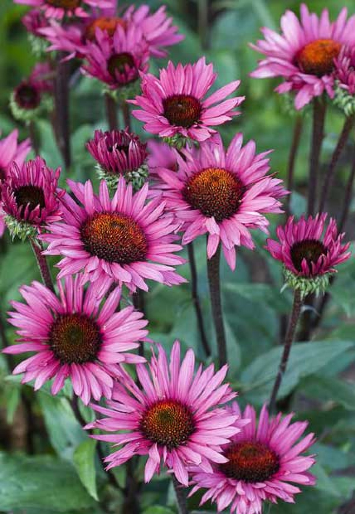 echinacea purpurea whole herb organic herbs and spices pune. Black Bedroom Furniture Sets. Home Design Ideas
