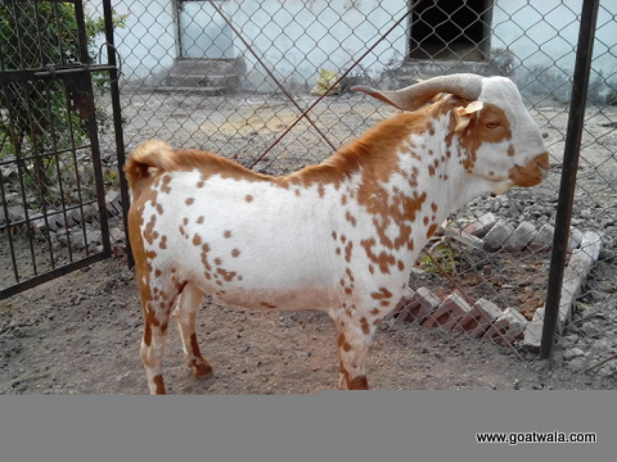 Goatwala farm, Sundrel, Dhamnod, Dhar District, Madhya ...