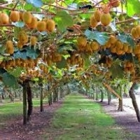 Kiwi fruit plants for sale