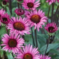 Echinacea Purpurea Whole Herb