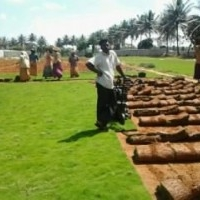 contract farming of turf lawn carpet plantation