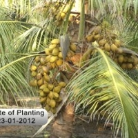 Deejay Farms - A unit of deejay group, Trendsetter in Hybrid Coconut Seedling Production