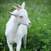 Super Hite Osmanabadi Goat Farming,  Popular Osmanabadi Goats breeds, Jabadast Sheli special attention