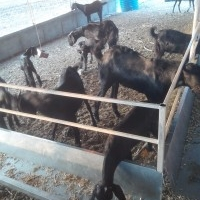 Pure Line And Farm set Osmanabadi Goat at Best Rate Pls Call and Visit
