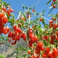 Goji berry or wolfberry seed plants