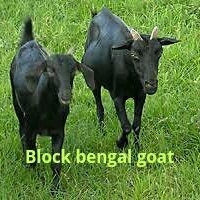Sheep and Goat farm at bochamari, Cooch Behar District, West Bengal