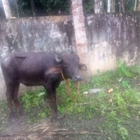 Male Buffallos for Sale in Kottayam
