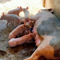 Wholesale pig supply in northeast