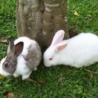 Bhumika Animal Breeder, Rabbit farming in India