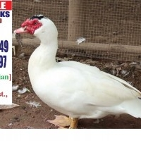 Flying Ducks (Muscovy) for sale in Chalakudy, Thrissur Dist., Kerala