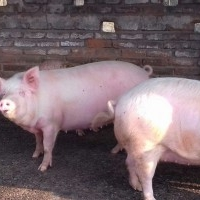 MDM piggery Farm, Every kind of Pigs available