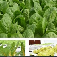We Grow lettuce, spinach and Vine crops